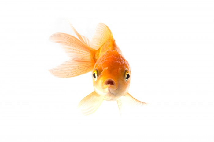 Golden koi fish scared isolated on white background.